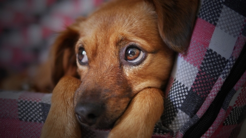 ¿Por qué tu perro llora cuando te vas?